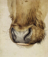 Albrecht Dürer Muzzle of an Ox