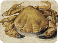 Albrecht Dürer Sea Crab